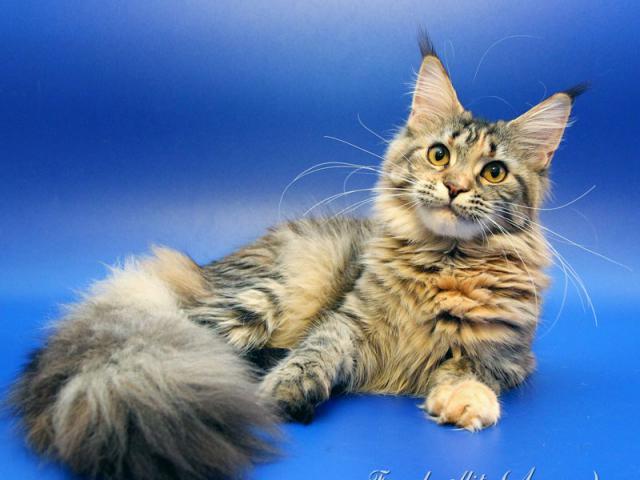 Продам котенка мэйн-кун частные объявления съем-частные объявления