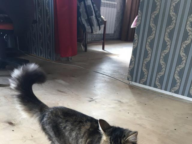 Кошка.  Беспородные и метисы . Отдам в дар в Барнауле