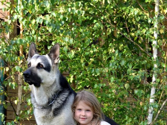 Собака. Восточноевропейская овчарка . Продаю в Хотьково