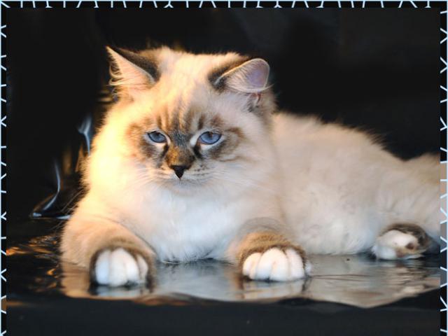 Кошка. Сибирская. Продаю в Москве