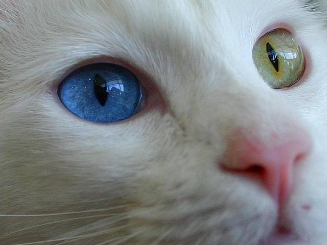 Кошка. Турецкая ангора. Возьму в дар в Санкт-Петербурге