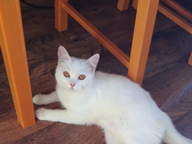 Кошка. Британская длинношерстная. Отдам в дар в Новосибирске