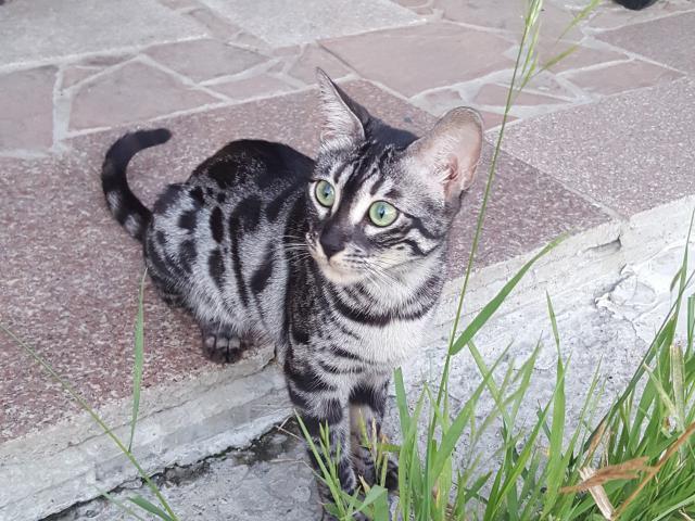 Кошка. Бенгальская короткошерстная. Потеря/Находка в Иркутске