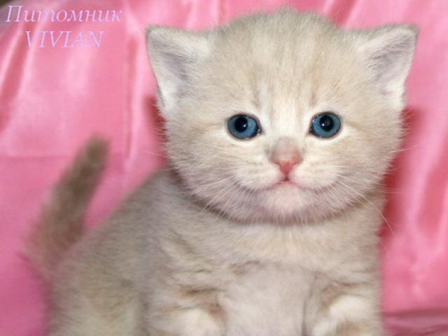 Британские котята персиковый мрамор из питомника.