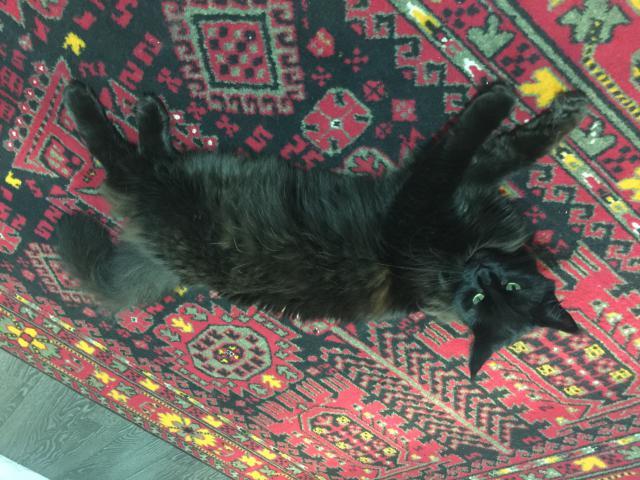 Кошка. Мэйн-кун . Возьму в дар в Москве