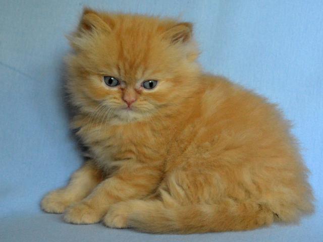 Кошка. Персидская. Продаю в Минске