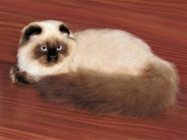 Кошка. Шотландская вислоухая (длинношерстная). Продаю в Санкт-Петербурге