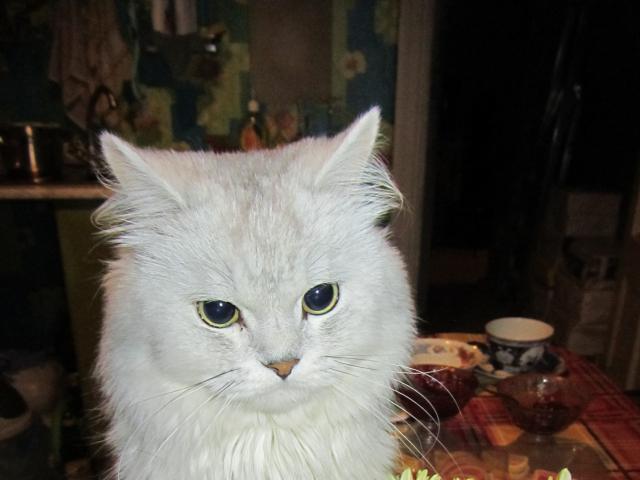 Кошка. Скоттиш-страйт. Вязка в Казани