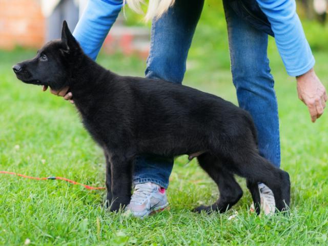 Собака. Немецкая овчарка. Продаю в Минске