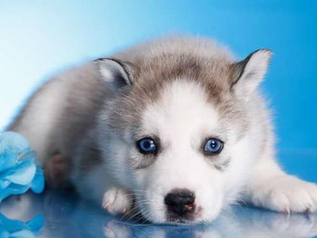 Собака. Сибирский хаски . Продаю в Ногинске