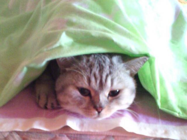 Кошка. Шотландская вислоухая (короткошерстная). Потеря/Находка в Красноярске