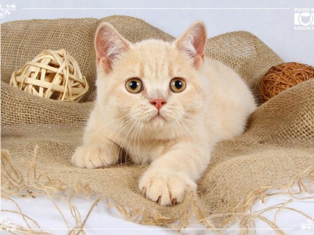Персиковые британские кошечки