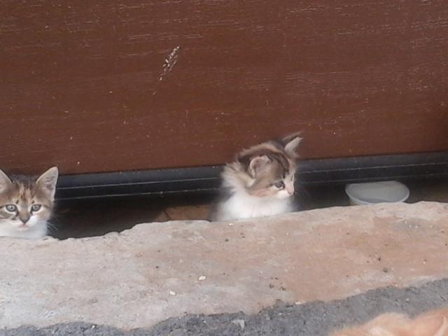 Кошка.  Беспородные и метисы . Отдам в дар в Воронеже