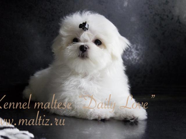 Собака. Мальтезе. Продаю в Москве