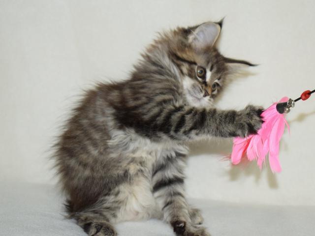 Кошка. Мэйн-кун . Продаю в Харькове