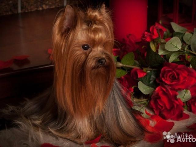 Собака. Йоркширский терьер . Продаю в Санкт-Петербурге