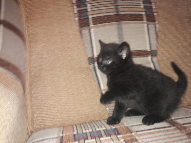 Кошка. Британская короткошерстная. Отдам в дар в Тюмени
