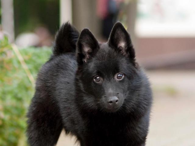 Собака. Шипперке. Продаю в Санкт-Петербурге