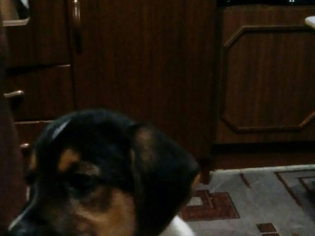 Собака. Эстонская гончая. Продаю в Челябинске