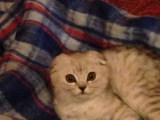 Кошка. Шотландская вислоухая (длинношерстная). Потеря/Находка в Москве