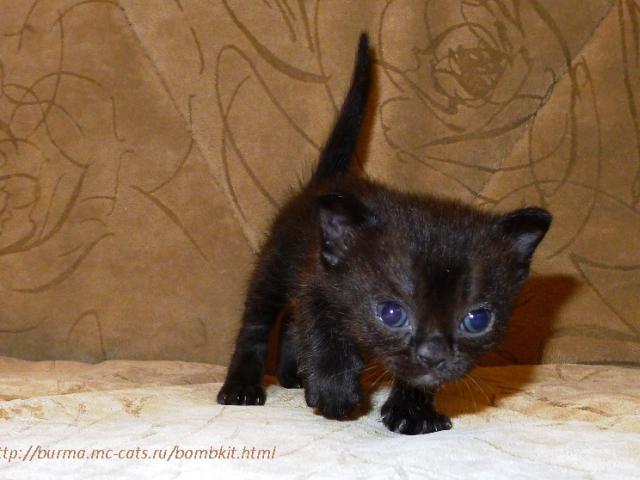 Кошка. Бомбейская. Продаю в Москве