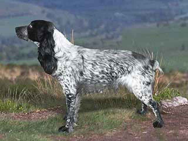Собака. Русский охотничий спаниель. Продаю в Москве