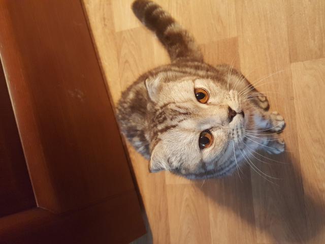 Кошка. Британская короткошерстная. Отдам в дар в Кемерово