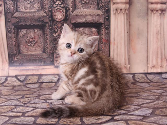 Клубный шотландский котик