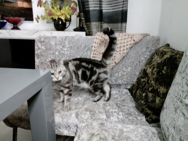 Кошка. Американская короткошерстная. Отдам в дар в Самаре