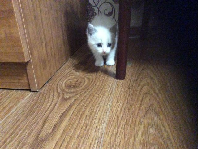 Кошка. Невская маскарадная. Отдам в дар в Ставрополе