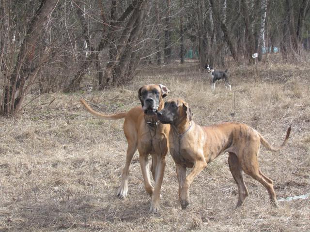 Собака. Немецкий дог. Продаю в Москве