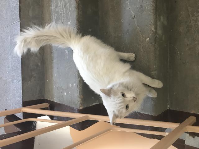 Кошка. Сибирская.  в Иркутске