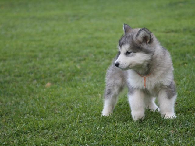Собака. Аляскинский маламут . Продаю в Пушкино