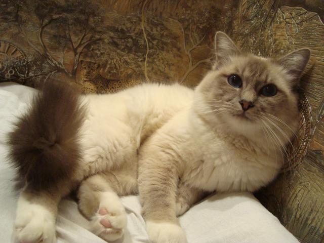 Кошка. Бирманская. Вязка в Москве