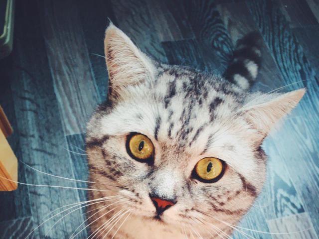 Кошка. Британская короткошерстная. Вязка в Санкт-Петербурге