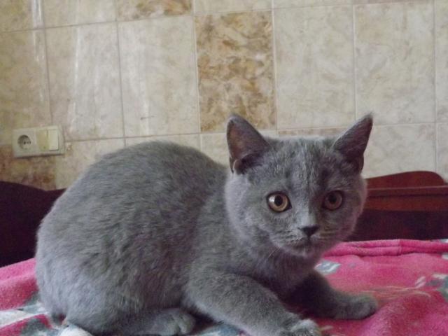 Кошка. Скоттиш-страйт. Продаю в Харькове