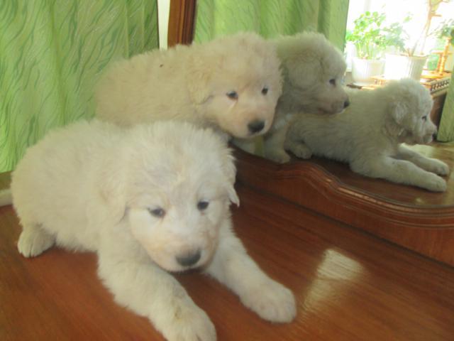 Собака. Маремма-абруцкая овчарка. Продаю в Брянске