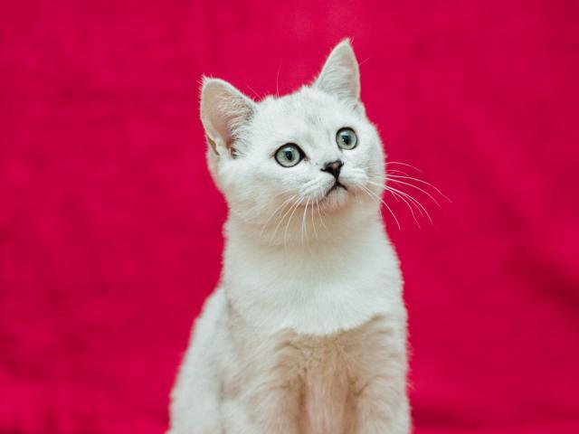 Кошка. Скоттиш-страйт. Продаю в Златоусте