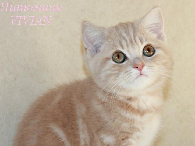 Британский персиковый котик.