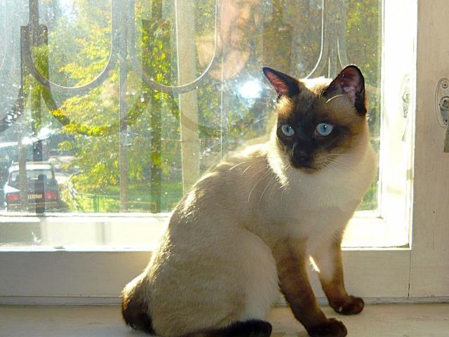 Кошка. Скиф-той-боб . Продаю в Москве