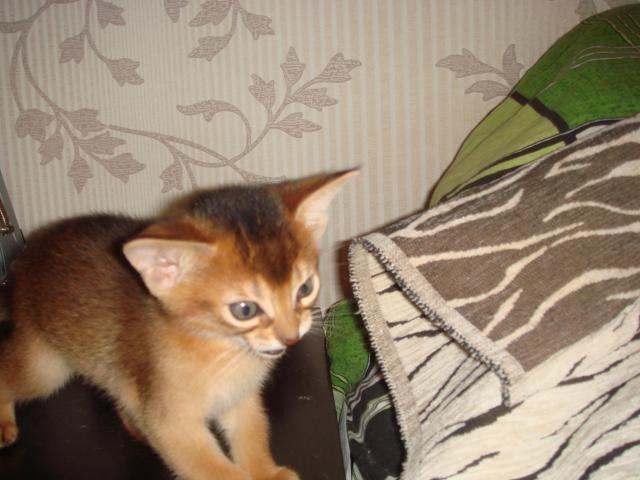Кошка. Абиссинская. Продаю в Нижнем Новгороде