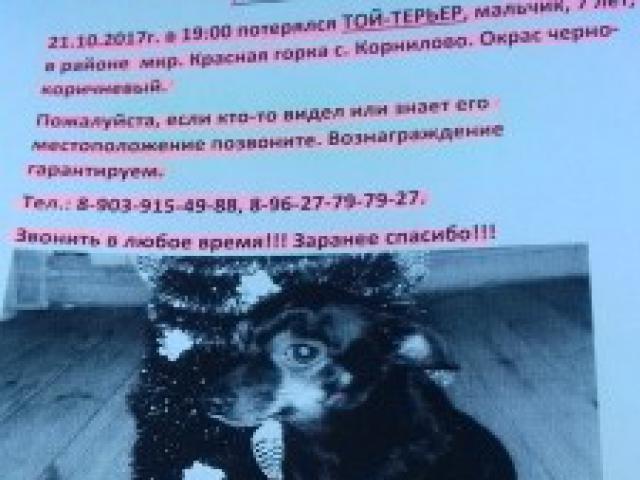 Собака. Русский той терьер. Потеря/Находка в Томске