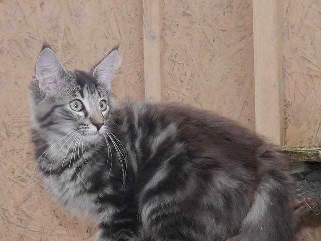 Кошка. Норвежская лесная. Продаю в Санкт-Петербурге