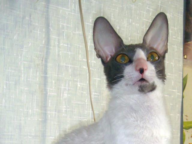 Кошка. Корниш-рекс. Вязка в Минске