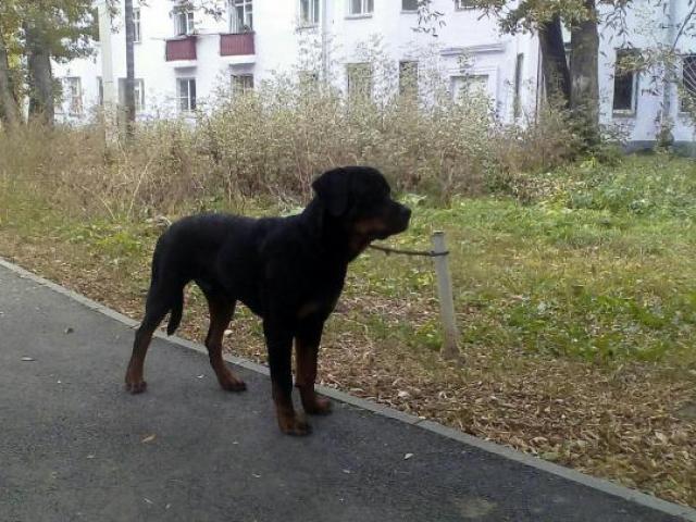 Собака. Ротвейлер. Продаю в Челябинске