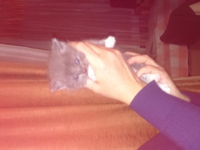 Кошка. Британская длинношерстная. Отдам в дар в Москве