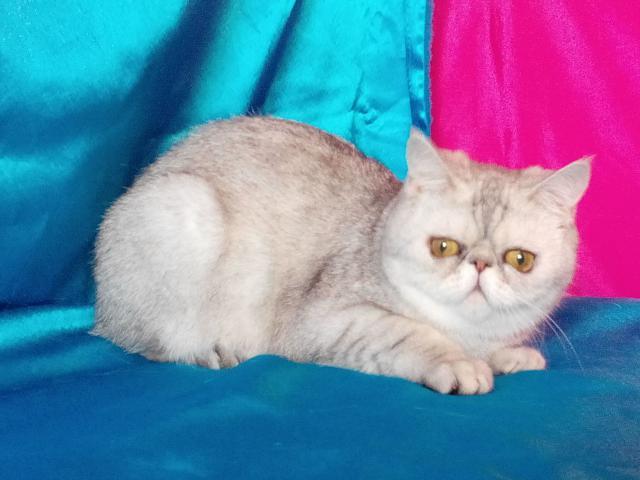 Кошка. Экзотическая (короткошерстная). Продаю в Омске