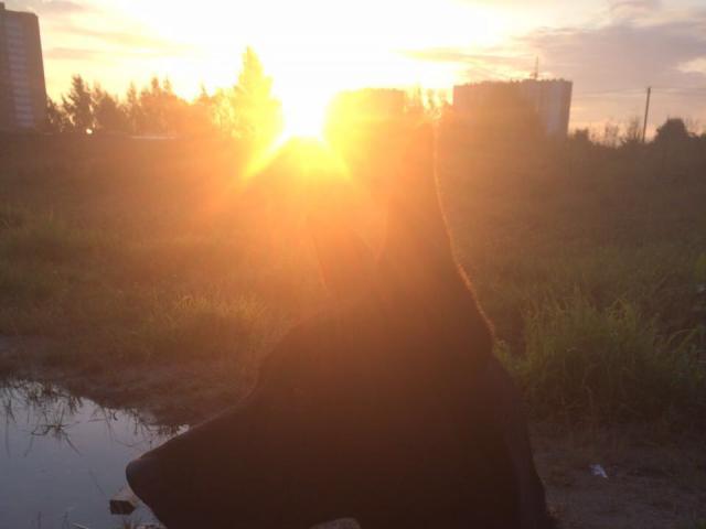 Собака. Немецкая овчарка. Отдам в дар в Санкт-Петербурге
