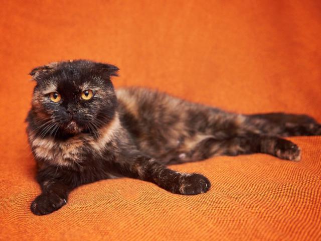 Кошка. Шотландская вислоухая (короткошерстная). Отдам в дар в Москве