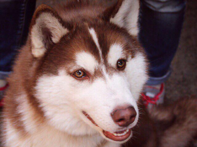 Собака. Сибирский хаски . Отдам в дар в Иркутске